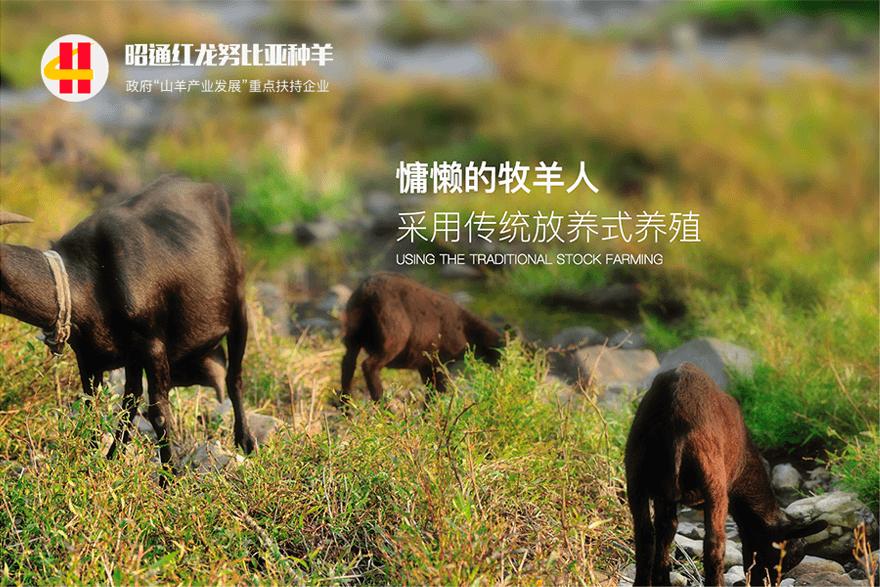 红龙努比亚种羊